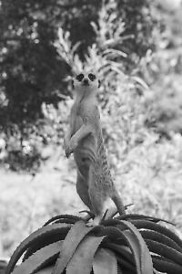 MEERKATS - BLACK & WHITE OR COLOURFUL - A3 PHOTO WITH FRAME