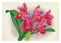 Cattleya Mantinii by Jean Linden Orchids A4 Art Print