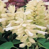 50 Salvia Seeds Vista White FLOWER SEEDS Garden Starts Nursery