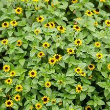 Creeping Zinnia  - Sanvitalia procumbens - 570 seeds