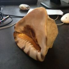 Helmet Conch Shell  Medium Size 7'' x 6''