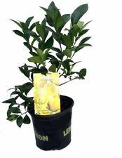 "Meyer Lemon Live Tree Plant Certificate Fruiting Size 6"" Pot Garden Outdoor"