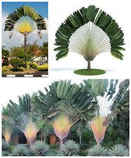 50 semi di Ravenala madagascariensis, palma del viaggiatore,seed succulents