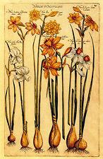 Narcissus 22x30 Hand Numbered Ltd. Edition Botanical Garden Flower Art Print