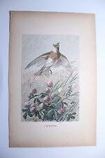 """Ancienne gravure oiseau """" l' Alouette """"  par J.Huyot et H. Giacomelli 1897"""