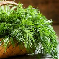 200+ Seeds Mammoth Dill Heirloom Herb Collection