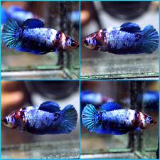 New listing Live Betta Fish Fancy Blue Marble Red Head Koi Halfmoon Plakat Hmpk Female C255