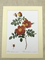 Botanical Print Red Pink Austrian Copper Corn Poppy Rose Flowers Redoute Roses