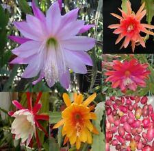 Cactus Epiphyllum / MIX COLORS SEEDS_ Phyllocactus Anguliger, Cactus 30pcs/seeds