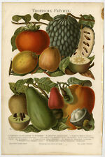 Antique Prints-TROPICAL FRUITS-MANGOSTEEN-Meyers-1902