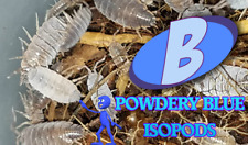 POWDERY BLUE AND POWDERY ORANGE ISOPODS, FREE SHIPPING!  20 OF EACH in 2 CUPS