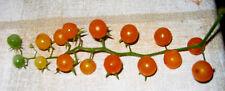 TOMATE  die würzigste gelbe Johannesbeer- WILDTOMATE über 1000 Früchte  süß