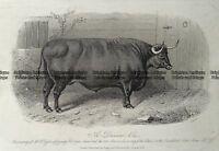Antique Print 232-497 Cattle - Devon Ox by Hacker c.1872 Natural History