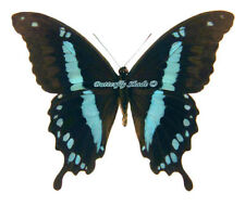 Unmounted Butterfly/Papilionidae - Papilio hornimani mbulu, male, A1/A-