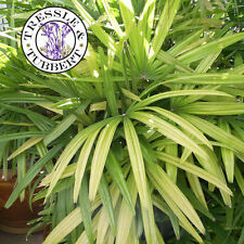 Raro Lady Palm Tree-Rhapis Excelsa - 5 Semillas-Reino Unido Vendedor