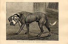 Stampa antica CANE MASTINO MOLOSSO legato ad una catena 1879 Old print dog