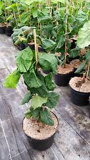 Korkenzieher Haselnuss - Corylus avellana 'Contorta' 40-60