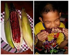 50 Seeds Super Sweet Black Corn Big Soft Pods Thailand