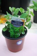 0.2g (approx. 700) marjoram seeds ORIGANUM MAJORANA spice and medicinal herb