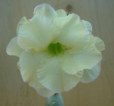 Adenium obesum cv. Lemon Ice  gepfropft  Wüstenrose  Nr. 2