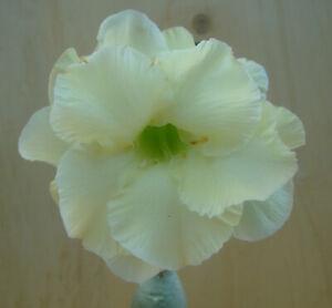 Adenium obesum cv. Lemon Ice  gepfropft  Wüstenrose  Nr. 3