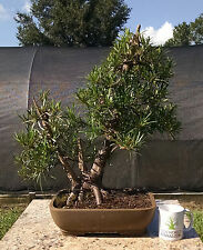Bonsai Tree, Buddhist Pine, Fully Wired and Styled, Advanced Level Bonsai