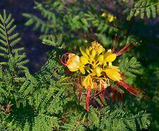 Caesalpinia gilliesii Yellow Bird Of Paradise Shrub Seeds!