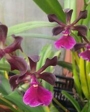 Encyclia Nursery Rhyme. Cattleya Orchid Plant. Blooming Size. In Spike