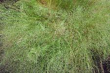 NEBELGRAS 150 Samen Agrostis Nebulosa Ziergras