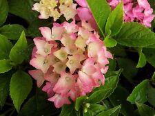 7 rose pink Pia Mia dwarf Hydrangea macrophylla flowering shrub garden plant pot