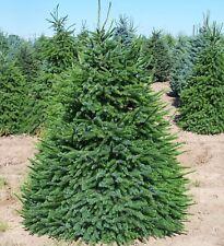 Serbian Spruce (Picea omorika) 50 seeds