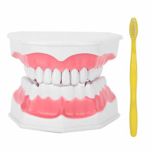 Studying Standard Size Comes With A Toothbrush ABS Material Standard Teeth Model