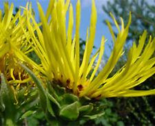 Inula Helenium Elecampane | Showy Perennial Hardy to Zone 3 | 40 Fresh Seeds