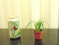 Tiny Pony tail palm planting for shohin mame bonsai tree several plants 1 pot