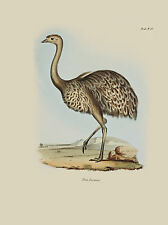 A3 John Gould Native  Birds print emu painting Vintage Old Australia art bird