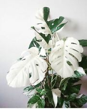 100pcs White Monstera Bonsai Garden Seeds Beautiful Turtle Leaves Tree Palm