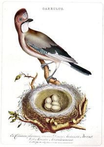EUROPEAN JAY bird birds nest & eggs 1940's original early offset vintage print