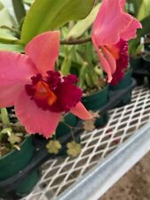 Orchid Plant Cattleya 3 Stem Mature Division Bare Root Surprise Color