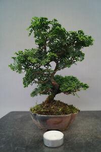 Bonsai Chamaecyparis obtusa bzw. Hinoki Scheinzypresse Nr. 3012