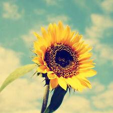 Sunspot Sunflower Seed 15 Seeds Helianthus Annus Beautiful Flower Seeds A279