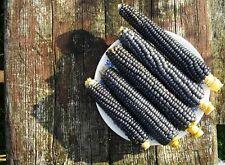 Hopi Blue Corn non-GMO 50+ seeds