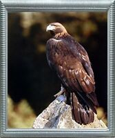 Golden Eagle Wildlife Animal Wall Decor Silver Framed Art Print Picture (20x24)
