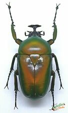 Dicronorrhina micans flower beetle SET x1 male Huge beetle mounted entomology