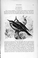 Old Antique Print Natural History 1895 Common Bea-Eater Meropidae Birds 19th