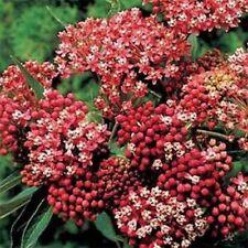 Milkweed-Swamp- Asclepias Incarnata- Carmine- 25 Seeds