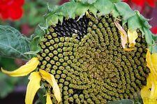 Giant American Sunflower 10-Finest Seeds*UK Seller