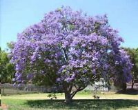 wunderschöner PALISANDERBAUM - blau / violette Pracht !