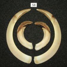 Wild boar tusks (no. 58), trophy, taxidermy, tooth, teeth