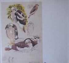 Beau Tunnicliffe Oiseau Imprimé~ Jeune