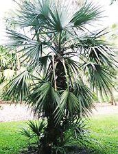Nannorrhops Ritchiana Mazaripalme Pflanze im Topf..12856
